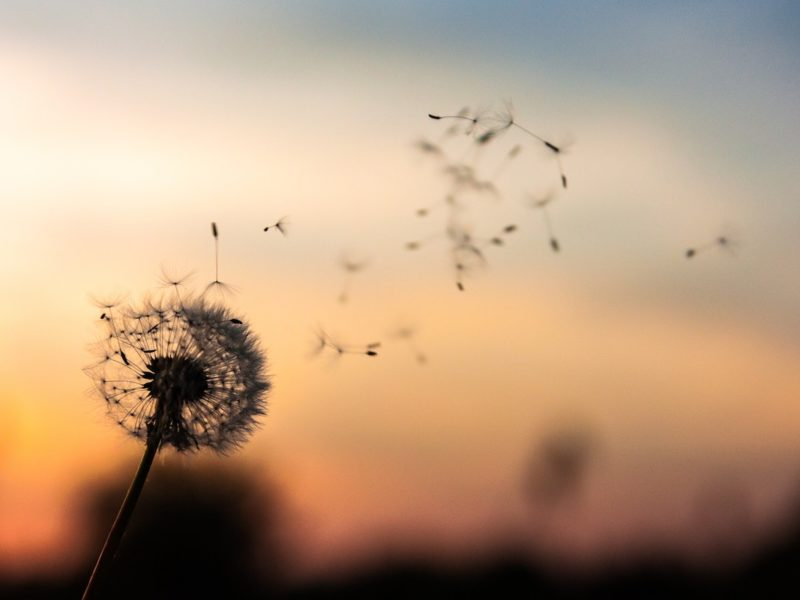 dandelion blowing in wind guided meditation