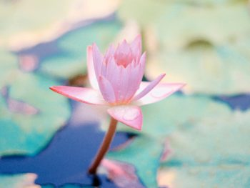 Water Lily Meditations for Stress